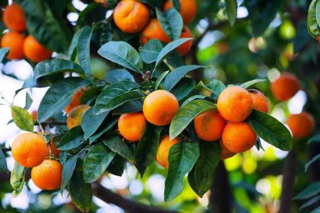 La mandarina bio és una de les fruites amb menys sucre