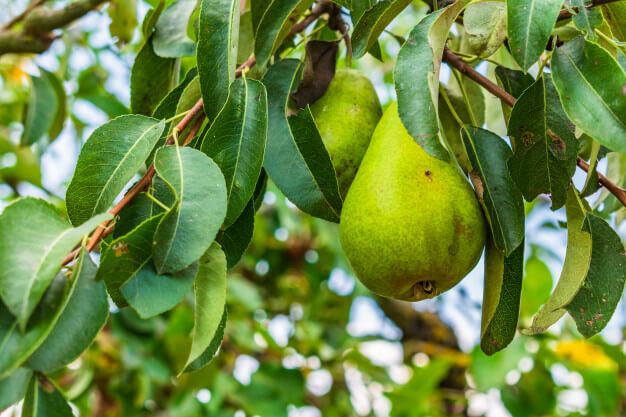 La pera ecològica és una de les fruites amb menys fructosa
